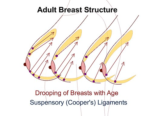 Suspensory (Coopers) Ligaments of the Breast