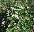 Sweet Cicely (Myrrhis odorata) - geograph.org.uk - 418657.jpg