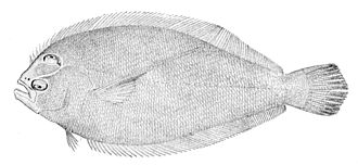 Paralichthyidae - Dusky flounder, Syacium papillosum