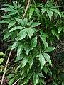 Syngonium podophyllum (Araceae) 08.jpg