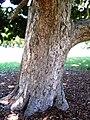 Syzygium moorei Sydney trunk.JPG