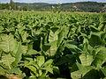 Tabac-Dordogne 02.JPG