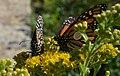 Tagged Monarchs at Minnesota Valley National Wildlife Refuge (20747103481).jpg