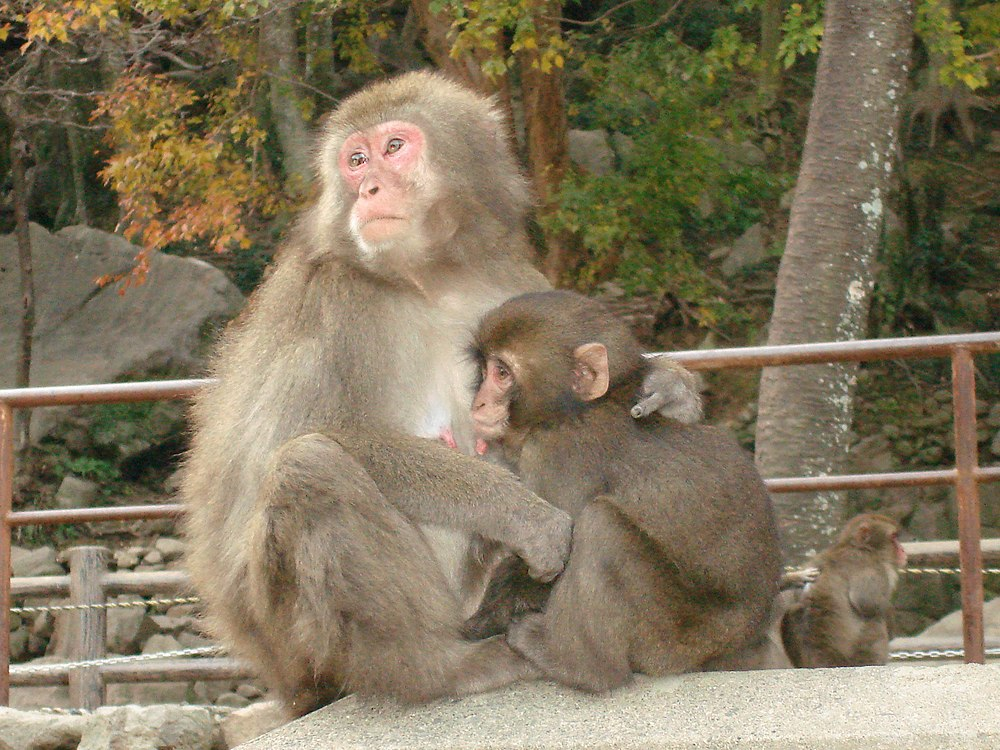 The average litter size of a Japanese macaque is 1