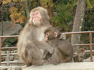 Japanese macaque The only nonhuman primate in Japan