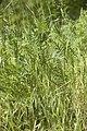 Tanacetum vulgare - (Tanaisie commune).jpg