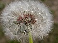 Taraxacum officinale fruiting head (3434346879).jpg