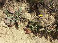 Taraxacum serotinum sl71.jpg