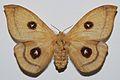 Tau Emperor (Aglia tau) female (8383153443).jpg