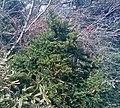 Taxus cuspidata Hallasan.jpg