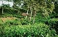 Tea garden at Rangapani teas estate 6.jpg