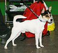 Tenterfield Terrier 1.jpg