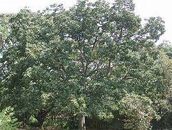 Terminalia bellirica.jpg