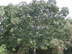 Terminalia bellirica - Image: Terminalia bellirica