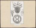 Testudinidae spec. - ingewanden - 1700-1880 - Print - Iconographia Zoologica - Special Collections University of Amsterdam - UBA01 IZ11600023.tif
