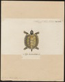 Testudo tabulata - 1700-1880 - Print - Iconographia Zoologica - Special Collections University of Amsterdam - UBA01 IZ11600071.tif