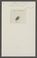Tetroda - Print - Iconographia Zoologica - Special Collections University of Amsterdam - UBAINV0274 040 03 0034.tif