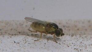 File:Thaumatomyia notata - female -2012-04-27.ogv
