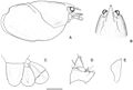 The-eastern-swamp-crayfish-Gramastacus-lacus-sp.-n.-(Decapoda-Parastacidae)-a-new-species-of-zookeys-398-053-g003.jpg