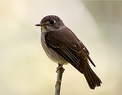 The Asian Brown Flycatcher.jpg
