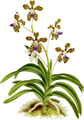 The Orchid Album-02-0036-0059-Vanda roxburgii-crop.png