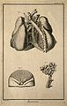 The arteries and lungs (fig. 2), after Haller; the breast (f Wellcome V0007831EL.jpg