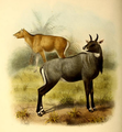 The book of antelopes (1894) Boselaphus tragocamelus.png