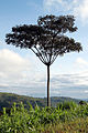 The perfect tree (5680821877).jpg
