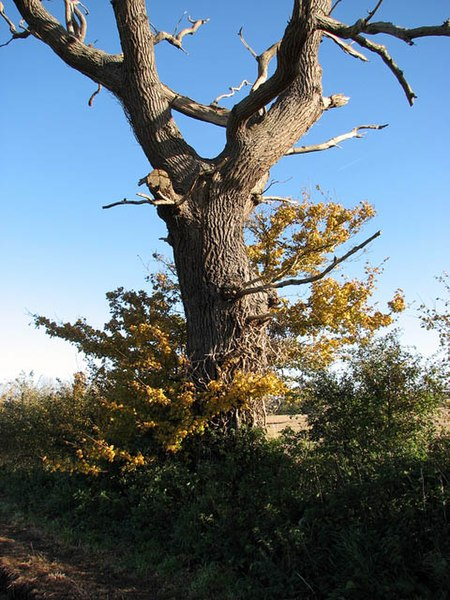 File:There's still life in this old tree - geograph.org.uk - 1039441.jpg