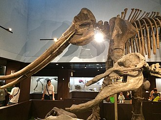 Paleozoological Museum of China - The Cenozoic gallery on the third floor.
