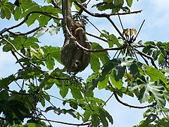 Three-toed sloth.jpeg