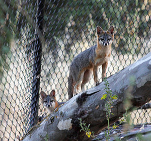 Matadero Creek - Three gray foxes (Urocyon cinereoargenteus), the only tree-climbing canid in the Americas, den and forage for rodents, grasshoppers and berries near the mouth of Matadero Creek in the Baylands
