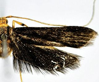 <i>Thubana xanthoteles</i> species of insect