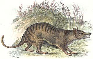 320px-Thylacineprint dans TIGRE