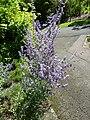 Thymus herba-baronai 'Caraway Thyme' (Labatae) plant.JPG