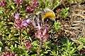 Thymus serpyllum kz01.jpg