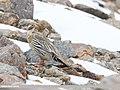 Tibetan Snowcock (Tetraogallus tibetanus) (48367361601).jpg