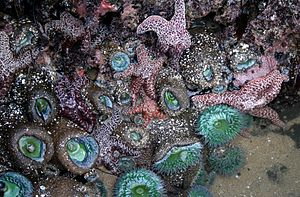 Tide pool - The site of a tide pool in Santa Cruz, California showing sea stars (Dermasterias), sea anemones (Anthopleura) and sea sponges.