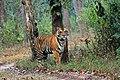Tiger stare.jpg
