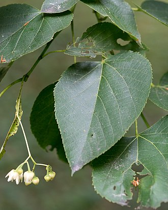 Tilia americana - Leaves and flowers