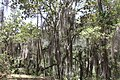 Tillandsia usneoides (Bromeliaceae) (25004066956).jpg