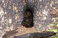 Timber rattlesnake (14142247340).jpg