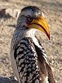 Tockus leucomelas -Kruger National Park, South Africa-8 (1).jpg