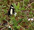 Torquatus Swallowtail (Papilio torquatus) (26214922418).jpg