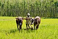 Traditional ploughing - Karnataka.jpg