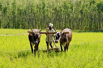 Harvest - Oxen used in farms for plowing.