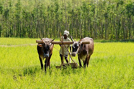 Oxen used in traditional ploughing - Karnataka Traditional ploughing - Karnataka.jpg