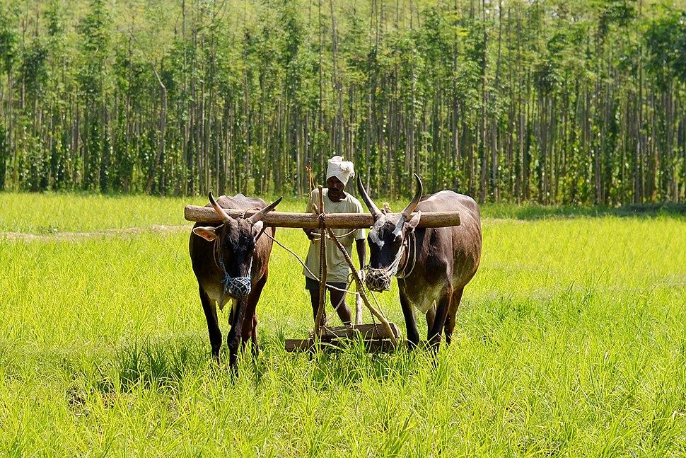 Traditional ploughing - Karnataka