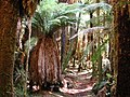 Tree fern understorey in Whirinaki Forest.jpg