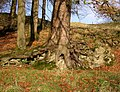 Tree roots near Park House, Otterburn - geograph.org.uk - 619167.jpg